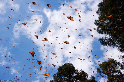 Hàng triệu bướm chúa di cư bay rợp trời Mexico - 1