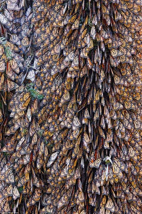 Hàng triệu bướm chúa di cư bay rợp trời Mexico - 3