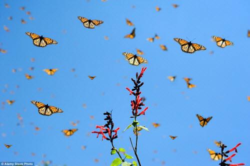Hàng triệu bướm chúa di cư bay rợp trời Mexico - 4