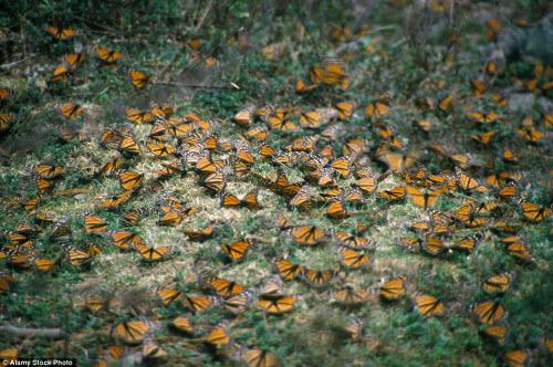 Hàng triệu bướm chúa di cư bay rợp trời Mexico - 5
