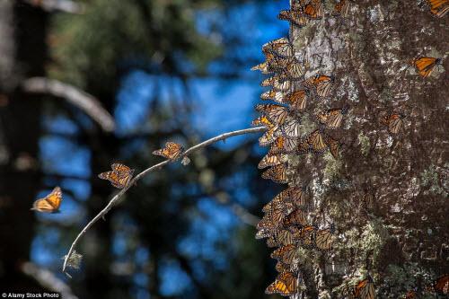 Hàng triệu bướm chúa di cư bay rợp trời Mexico - 6