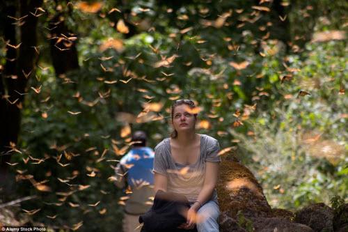 Hàng triệu bướm chúa di cư bay rợp trời Mexico - 7