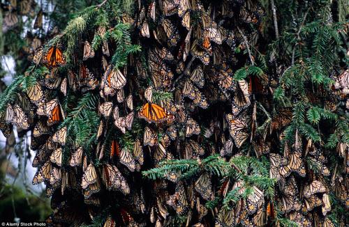 Hàng triệu bướm chúa di cư bay rợp trời Mexico - 8