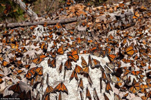 Hàng triệu bướm chúa di cư bay rợp trời Mexico - 10