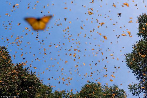 Hàng triệu bướm chúa di cư bay rợp trời Mexico - 11
