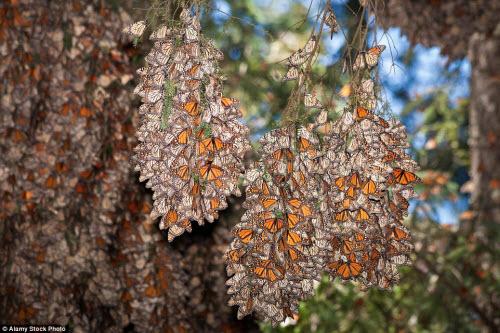 Hàng triệu bướm chúa di cư bay rợp trời Mexico - 12