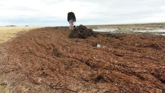 Rong biển chết dạt vào bờ chỉ là hiện tượng tự nhiên - 2