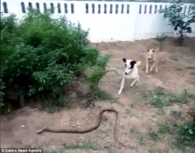 Video: Chó chiến đấu với rắn khổng lồ bảo vệ nhà chủ - 1