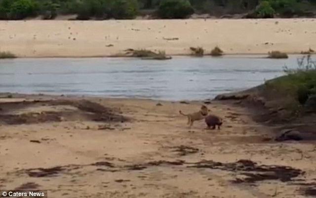 Video: Hà mã con dũng cảm đánh đuổi sư tử bảo vệ mẹ - 2