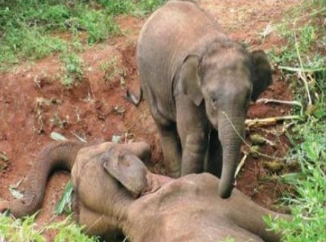 Ấn Độ: Voi con khóc, ôm xác mẹ không rời - 2