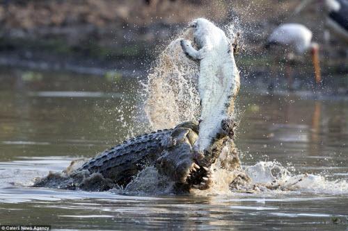 Rùng mình với cảnh cá sấu khổng lồ xé xác đồng loại - 1