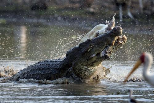 Rùng mình với cảnh cá sấu khổng lồ xé xác đồng loại - 7