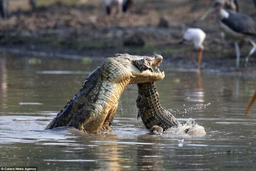 Rùng mình với cảnh cá sấu khổng lồ xé xác đồng loại - 8