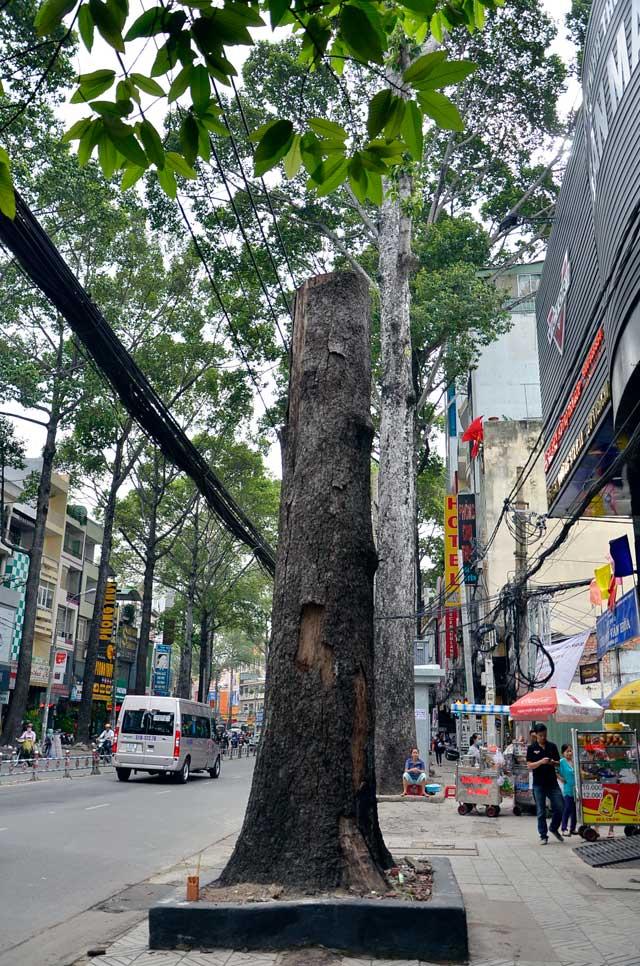 Cổ thụ gần 100 năm tuổi ở Sài Gòn bỗng chết bí ẩn - 8