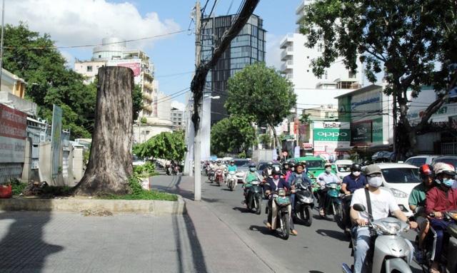 Cổ thụ gần 100 năm tuổi ở Sài Gòn bỗng chết bí ẩn - 7