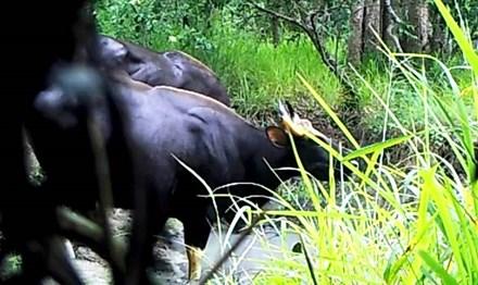 Lần đầu ghi được hình đàn bò tót Ea Sô - 1