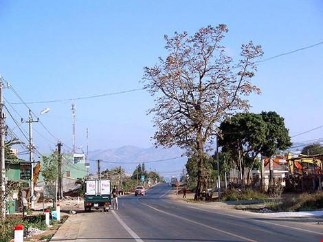 Uốn đường quốc lộ để giữ cây gạo cổ thụ theo ý dân - 1