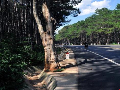 Uốn đường quốc lộ để giữ cây gạo cổ thụ theo ý dân - 2
