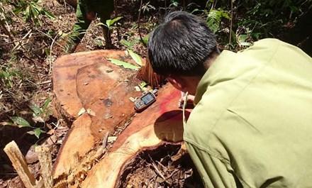 Khám nghiệm hiện trường vụ phá rừng quy mô lớn - 1
