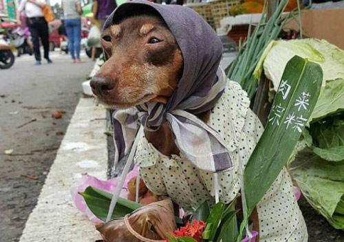 """Chó mặc váy, quàng khăn bán hàng """"đắt như tôm tươi"""" - 1"""