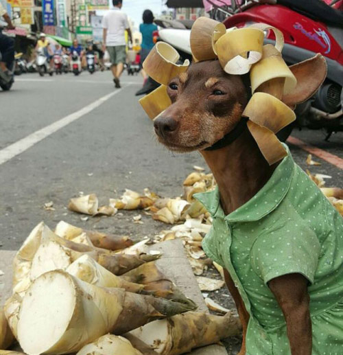 """Chó mặc váy, quàng khăn bán hàng """"đắt như tôm tươi"""" - 2"""