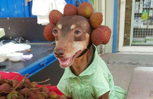 """Chó mặc váy, quàng khăn bán hàng """"đắt như tôm tươi"""" - 3"""