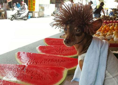 """Chó mặc váy, quàng khăn bán hàng """"đắt như tôm tươi"""" - 5"""