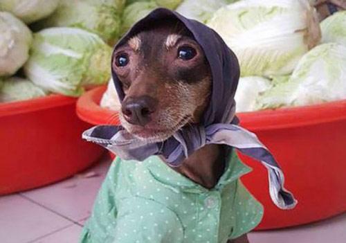 """Chó mặc váy, quàng khăn bán hàng """"đắt như tôm tươi"""" - 6"""