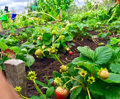 Mê mẩn vườn rau quả xanh mướt của mẹ Việt ở Hà Lan - 11