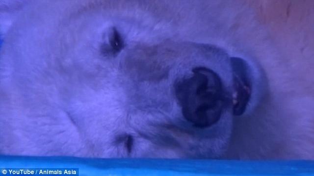 """TQ: Nhốt gấu Bắc Cực để phục vụ chụp ảnh """"tự sướng"""" - 2"""