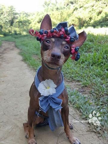 Chú chó bất ngờ nổi tiếng vì gắn hoa quả đầy đầu - 4