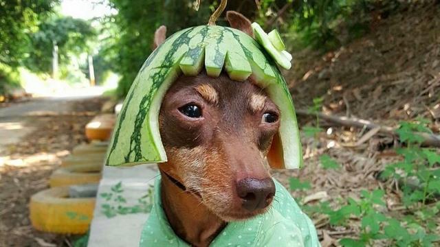 Chú chó bất ngờ nổi tiếng vì gắn hoa quả đầy đầu - 1