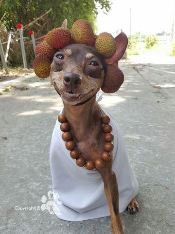 Chú chó bất ngờ nổi tiếng vì gắn hoa quả đầy đầu - 7