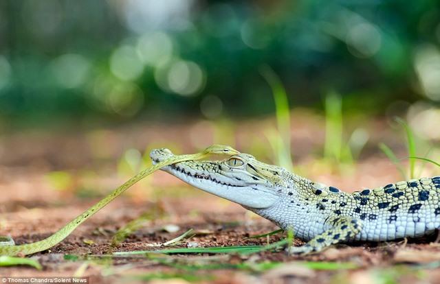 """Rắn liều lĩnh đi """"nhờ"""" trên đầu cá sấu - 1"""