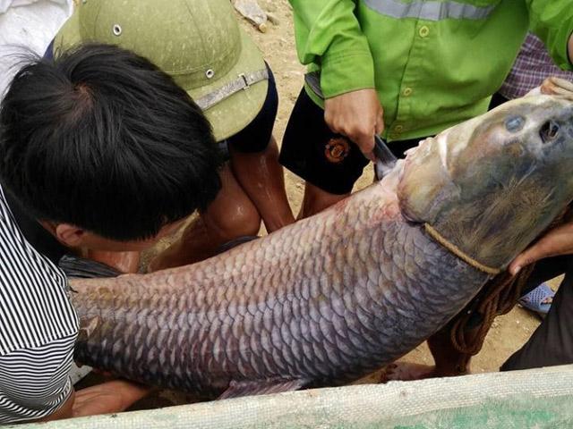 """Thái Nguyên: Bắt được cá trắm """"khủng"""" nặng 52kg - 1"""