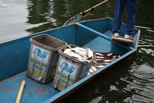 Hà Nội: Cá chết bất thường, nổi trắng hồ Thiền Quang - 2