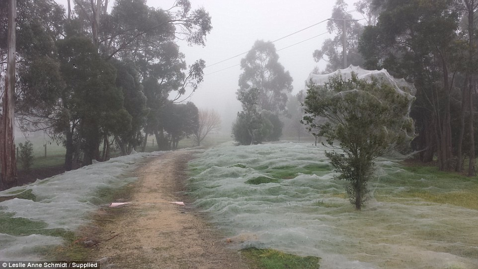 Triệu con nhện giăng tơ phủ trắng xóa công viên ở Úc - 3