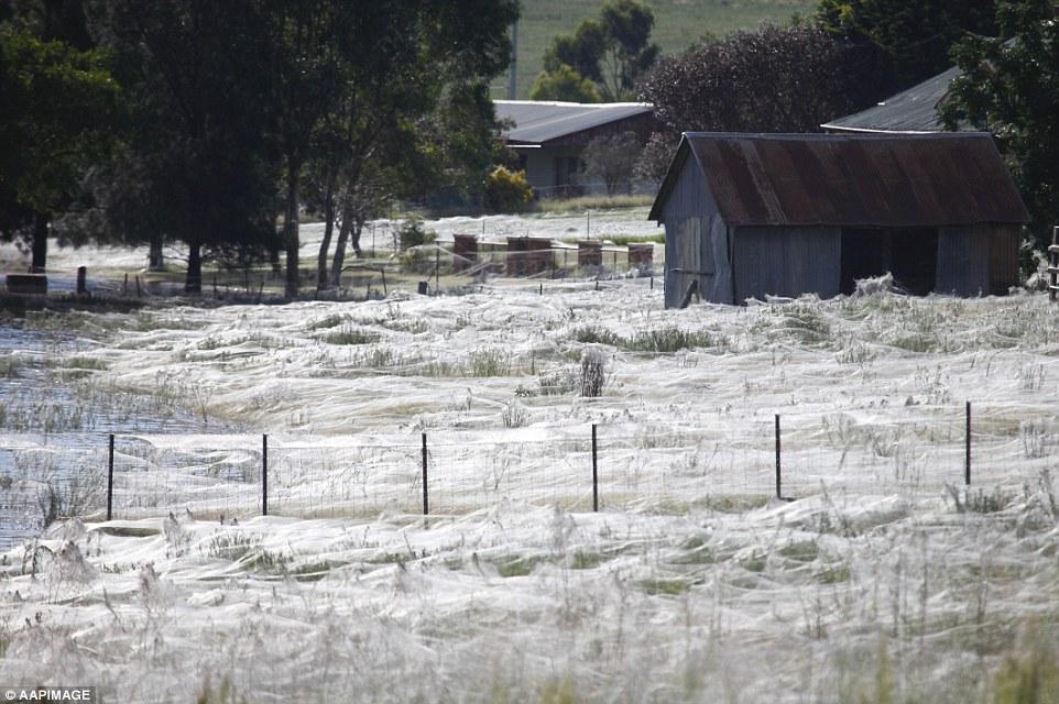 Triệu con nhện giăng tơ phủ trắng xóa công viên ở Úc - 5