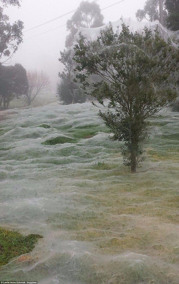 Triệu con nhện giăng tơ phủ trắng xóa công viên ở Úc - 4