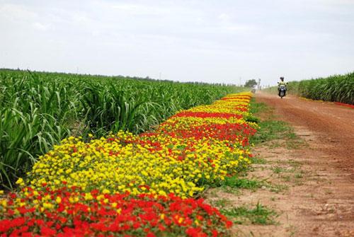 Choáng ngợp đường hoa mười giờ rực rỡ nhất Việt Nam - 1