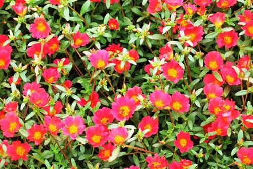 Choáng ngợp đường hoa mười giờ rực rỡ nhất Việt Nam - 2