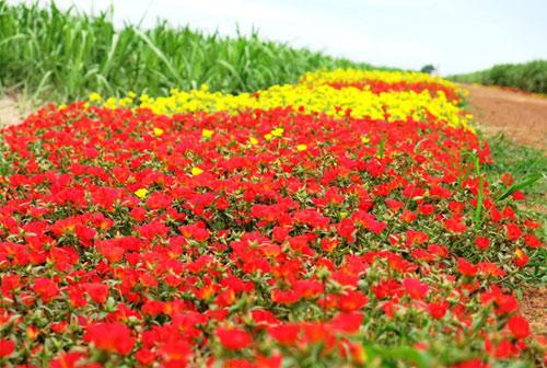 Choáng ngợp đường hoa mười giờ rực rỡ nhất Việt Nam - 3