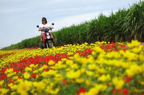 Choáng ngợp đường hoa mười giờ rực rỡ nhất Việt Nam - 4