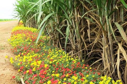 Choáng ngợp đường hoa mười giờ rực rỡ nhất Việt Nam - 5