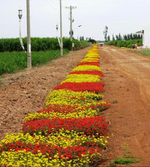 Choáng ngợp đường hoa mười giờ rực rỡ nhất Việt Nam - 7