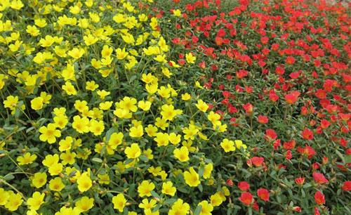 Choáng ngợp đường hoa mười giờ rực rỡ nhất Việt Nam - 8