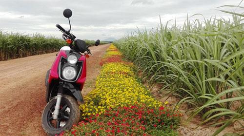 Choáng ngợp đường hoa mười giờ rực rỡ nhất Việt Nam - 9