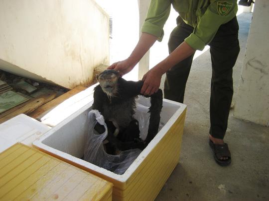 Phát hiện 9 con voọc chà vá chân đen bị nứt sọ, sấy khô - 1