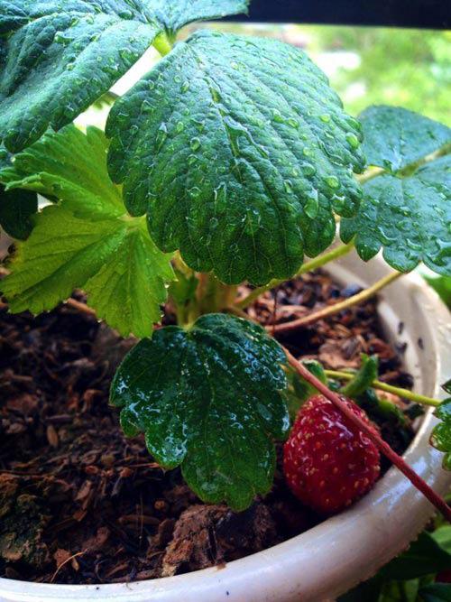 Thích mê ban công 5m2 đầy rau quả của cô giáo trẻ - 3