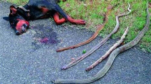 Chú chó hy sinh thân mình cứu chủ khỏi bầy rắn độc - 1